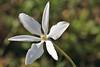 Milla biflora Cav. (carlos mancilla) Tags: flordesanjuan estrellita millabifloracav canoneosrebelt2i canoneos550d ef100mmf28macrousm