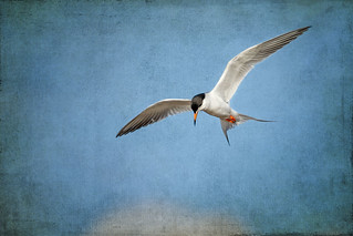 Forster's Tern: Preface to Descent