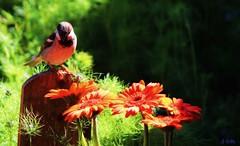 sparrow in robin training (gshaun12) Tags: flower macro bird nature animals closeup bokeh country fantasticnature macrodreams