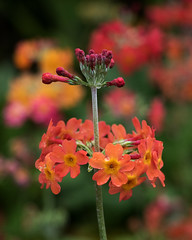 Day 6 32 Logan Botanic Garden orange flowers (bob watt) Tags: uk plants flower june canon scotland 7d 2016 18135mm loganbotanicgarden canoneos7d kirkcudbrightholidayjune2016