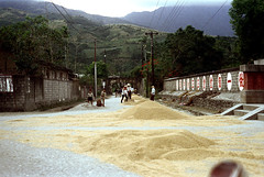 32-181 (ndpa / s. lundeen, archivist) Tags: rural village people nick dewolf nickdewolf 32 reel32 color photographbynickdewolf 1970s 1972 fall film 35mm winter republicofchina taiwan taiwanese eastcoast easterntaiwan hualien hualiencounty easterncoast rurallife unidentified hills mountains rice grain dryinggrain dryingrice buildings houses homes street children kids workers working hats conicalhats utilitypoles powerlines china chinese 1973