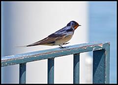(wilphid) Tags: lac lman oiseaux hautesavoie yvoire chablais