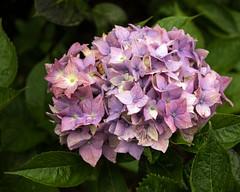 Day 6 13 Logan Botanic Garden purple flowers (bob watt) Tags: uk plants flower june canon scotland 7d 2016 18135mm loganbotanicgarden canoneos7d kirkcudbrightholidayjune2016