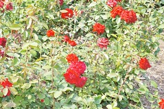 11262208_10153099686007076_3901955737745183175_o (jmac33208) Tags: park new york roses rose garden central schenectady