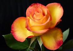 For you (evisdotter) Tags: flowers macro rose closeup blommor ros platinumheartawards platinumpeaceaward mygearandme mygearandmepremium mygearandmebronze