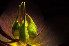 ~ 166 ~ (Daniel Vicario) Tags: black flower macro green fire petals energy sunny hidden stamen backlit lit delicate universe maths handinhand femenine specnature impressedbeauty