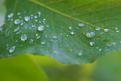 Waterdrops (Deb Jones1) Tags: nature beauty leaves canon botanical outdoors leaf flora waterdrops flickrduel gardengreen debjones1