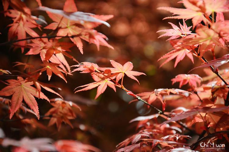 竹子湖紅楓13.jpg