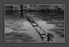 (Cida Garcia) Tags: portugal nature river natureza delta aves pb salinas vegetation habitat tejo reflexos tagus ribeira alcochete biologia complexo esturio geomorfologia observatrio aquacultura aqutico espcies migraes ambientais eclogia iberianpennsula