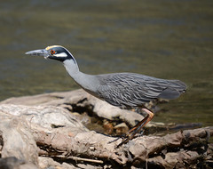 Yellow Crowned Night Heron ready for takeoff (lanaganpm) Tags: