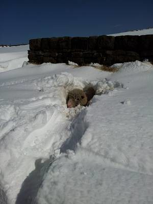 Saving a sheep from April snows near Castleshaw Reservoir. (Sheep shown 25% saved.) (photo by Michael Rosefield)