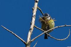 Mésange bleue (Cyanistes caeruleus) (Le No) Tags: bird 31 oiseau hautegaronne midipyrénées cyanistescaeruleus mésangebleue stléon lauragais eurasianbluetit passériformes collectionnerlevivantautrement paridés mai2012