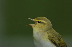 Wood Warbler headshot (Rainbirder) Tags: thetrossachs woodwarbler phylloscopussibilatrix rainbirder