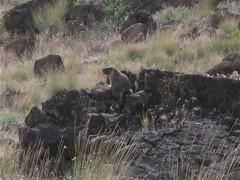 yellow-bellied marmot (jcoutside) Tags: bankslake grandcouleedam grandcoulee basalt dryfalls steamboatrock sunlakesstatepark iceagefloods mosescoulee umatillarock