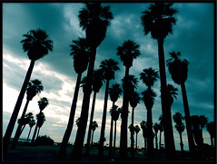 Indio's Greyhound Palm Trees (TheJudge310) Tags: california ca sky usa green clouds september palmtrees indio 2011 untitedstates nikoncoolpixp500