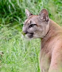 Puma 1 (Funky Foxy) Tags: puma bigcats pumaconcolor endangeredbigcats