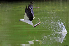 Grab and go! (kengoh8888) Tags: sea food white fish green water eagle background flight birdsinflight catch prey splash grab bellied birdofprey actionshot bigcatch thegalaxy