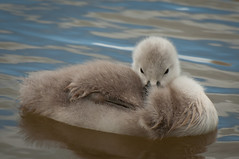 So cute! (pdjsphotos) Tags: closeup swan nikon cygnet fluffy nikkor 70300 d90
