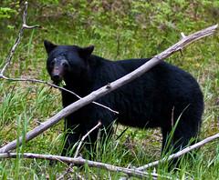 bear wildlife grover