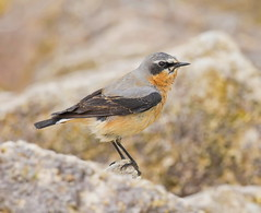 _MG_0186 Wheatear (Oenanthe oenanthe) non breeding ad or 1st summer male  Draycote Water, Warwickshire 02May12 (Lathers) Tags: stw draycote wheatear oenantheoenanthe draycotewater canon7d canonef500f4lisusm 02may12