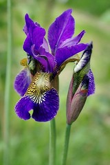 Purple beauty (mamietherese1) Tags: iris callingallangels thegalaxy flowerscolors awesomeblossoms omeuolhar qualitysurroundings imagicland coppercloudsilvernsun fugitivemoment sublimeflowershot fleursetpaysages exoticimage mygearandme mygearandmepremium mygearandmebronze mygearandmesilver persephonesgarden itsallaboutflowers 5wonderwall odetojoyodealegria flowerthequietbeauty