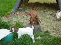 The goats Playing - May 19/12 (primespot1) Tags: canada kids bc britishcolumbia goat goats fraservalley lowermainland babygoats playingkids playinggoats