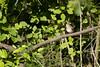 Nightingale / Αηδόνι (Panayotis1) Tags: nature birds canon aves greece animalia nightingale lusciniamegarhynchos passeriformes chordata luscinia φύση muscicapidae canonef400mmf56lusm imathia πουλιά ημαθία αηδόνι τάφροσ66 tafros66 kenkopro300afdgx14x