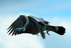 DSC_0001 Pigeon (PeaTJay) Tags: robin pigeon dunnock sparrow gardenbirds carlsbirdclub