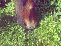 Billy the pony (George Davies) Tags: flowers horse brown green grass animal mouth eyes eating teeth whiskers pony hedge