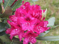 Rhododendron (RonG58) Tags: pictures new trip travel flowers light plants usa plant flower nature geotagged botanical photography photo spring day image photos wayne maine picture images flowerbed photograph rhododendron wildflowers wildplants floralfantasy thegalaxy fugifilm mixedflowers photosandcalendar flowersarebeautiful macroelsalvador macroflowerlovers domesticflowers exquisiteflowers mimamorflowers floraanffaunaoftheworld flickrflorescloseupmacros panoramafotografico greatshotss mainewildflowers natureandpeopleinnature theoriginalgoldseal esenciadelanaturaleza finepixhs20exr magicmomentsinyourlife sunrays5 magicmomentsinyourlifelevel1 rong58
