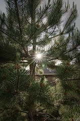 Eclipse Flare (Brett I Matthews) Tags: sky sun tree pine star solar eclipse utah nikon tokina saltlakecity flare needs austrianpine d7000
