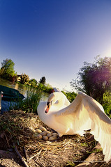 Swan protecting eggs (LaurentBrancaleoni) Tags: swan egg attack fisheye swans eggs printemps cygne cygnes 2012 attacking oeufs protege oeuf protecting 105mm attaque wantzenau d7000