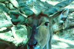 Antelope 2 (Robert Hruzek) Tags: eye nose zoo houston camouflage ear antelope stare 2012 blend