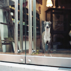 How are you today? (TAT_hase!) Tags: dog film kodak c hasselblad nagoya portra  italiangreyhound planar   160 80mm carlzeiss 66 503cxi