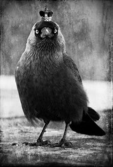 the Queen is not amused...:))) (akal_flickr) Tags: art blackwhite gallery contemporary fine society agora the ourtime jackdaw i innamoramento deepavalii