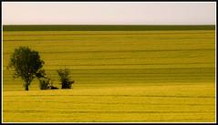 Entre les lignes (Lucien Vatynan) Tags: trees yellow jaune landscape olympus arbres normandie paysage normandy calvados epl1 bestofblinkwinners blinksuperstars
