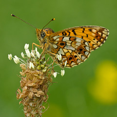 Petit Collier argent (Boloria selene) Small Pearl-bordered Fritillary (Sinkha63) Tags: france macro animal butterfly spring wildlife lepidoptera papillon printemps corrze limousin beynat insecta heliconiinae boloriaselene clossianaselene petitcollierargent argynnini
