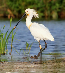 Billy Spoonbill (Ger Bosma) Tags: bird dutch europe european thenetherlands 125 spoonbill curator lepelaar platalealeucorodia breedingplumage eurasianspoonbill breedingseason lffler colhereiro esptulacomn spatola spatuleblanche skestork warzcha  gettycurator img46315filtered2 leppelbek