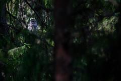 Ural Owl - Strix uralensis (L.Mikonranta) Tags: bird nature birds canon finland eos is 300mm ii 7d owl l usm jyvskyl f28 ef extender strix ural 14x canonef300mmf28lisusm viirupll canonefextender14xii westernfinland canoneos7d uralensis sallaajrvi takakeljo copyrightlm 420mmcanon strura