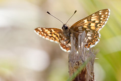 DUKE OF BURGUNDY female 2012 #2 (GOLDENORFE) Tags: macro butterfly insect butterflies dukeofburgundy