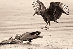 Gallinazos (Sebastin Padrn) Tags: costa birds coast ecuador sebastian aves salinas pajaros padrn pacfico biodiversity padron biodiversidad rutadelspondylus oocano httpwwwsebastianpadroncom