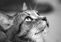 Hunter (DFChurch) Tags: blackandwhite bw pet cat feline tabby gray hunter highqualityanimals