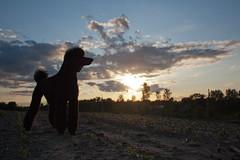 5.12 may (SmartPoodle) Tags: sunset summer dog black silhouette poodle standardpoodle 1855mmf3556