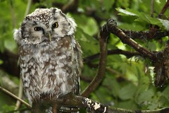 Baviera 020 Bayerischer Wald (franco borgis) Tags: parco birds uccelli owl wald germania oiseaux bho foresta baviera nazionale hibou civetta bayerischer rapaci bavarese capogrosso