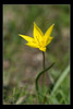Tulipe Sauvage (Tulipa sylvestris) (R. Grattessol Photographie) Tags: france sony alpha 2012 a77 montagnette drôme rhônealpes combau vallondecombau alpha77 treschenucreyers
