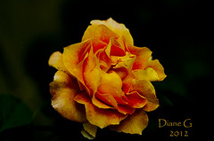 Rose (Diane G. Zooms) Tags: flowers rose ngc coth supershot thegalaxy macroflowerlovers superbmacroflowers awesomeblossoms coth5 sunrays5
