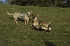 Heidi Rose, Zoe and Gracie (kewzoo) Tags: dogs grass mix cattledog pointisabel bordercollie hillside dogpark germanshepherd pointyears herders
