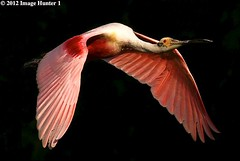Roseate Spoonbill - Lord Of The Wings (Image Hunter 1) Tags: morning pink light shadow red orange black eye nature birds yellow sunrise dawn flying wings louisiana flight beak bayou swamp marsh sunlit wingspan plumage roseatespoonbill wingspread canoneos7d birdslouisiana