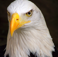 """""""Just Perfect Wotan"""" (Galeyo) Tags: nature birds wildlife eagles me2youphotographylevel1 freedomtosoarlevel1birdphotosonly freedomtosoarlevel2birdphotosonly"""