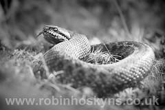 Adder in B&W ([[BIOSPHERE]]) Tags: uk blackandwhite bw macro nature leicestershire reptile snake wildlife adder bradgatepark viperaberus